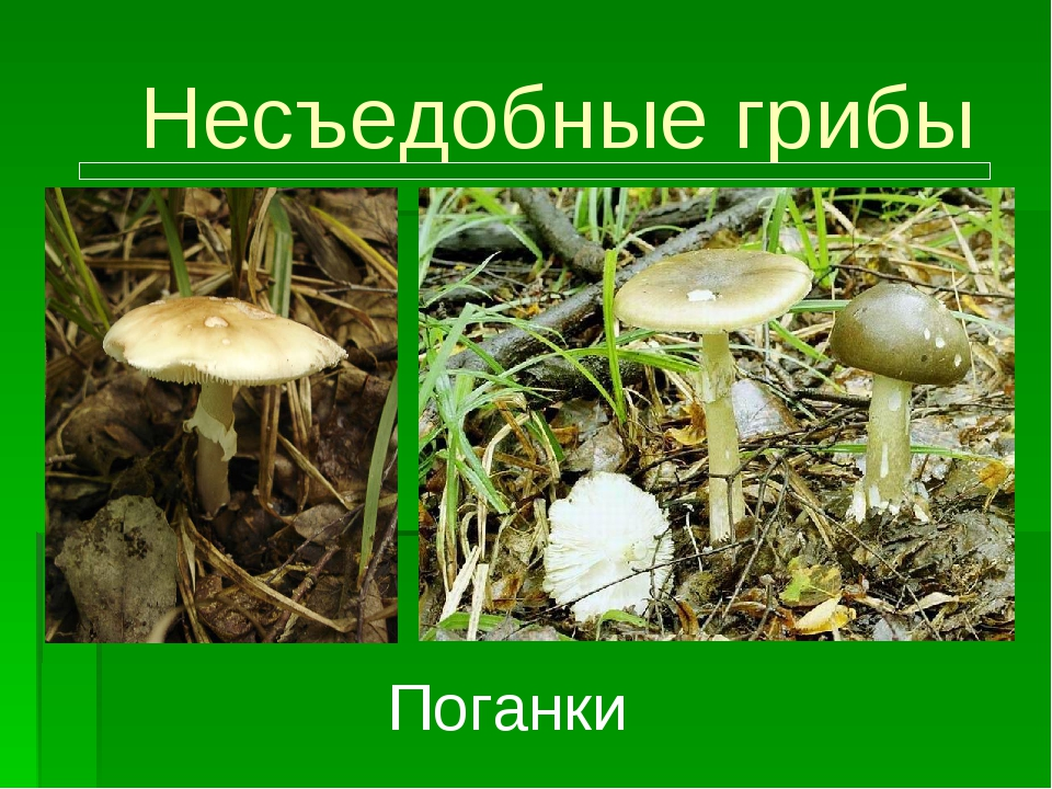 Несъедобные грибы Поганки