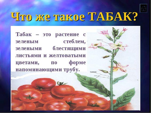 Что же такое ТАБАК? Табак – это растение с зеленым стеблем, зелеными блестящи...