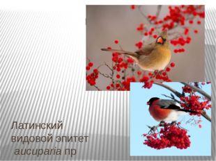 Латинскийвидовой эпитетaucupariaпроисходит отлат.avis— птица иcapere—