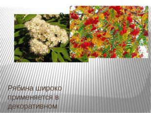 Рябина широко применяется в декоративномсадоводствеиозеленениии повсемест