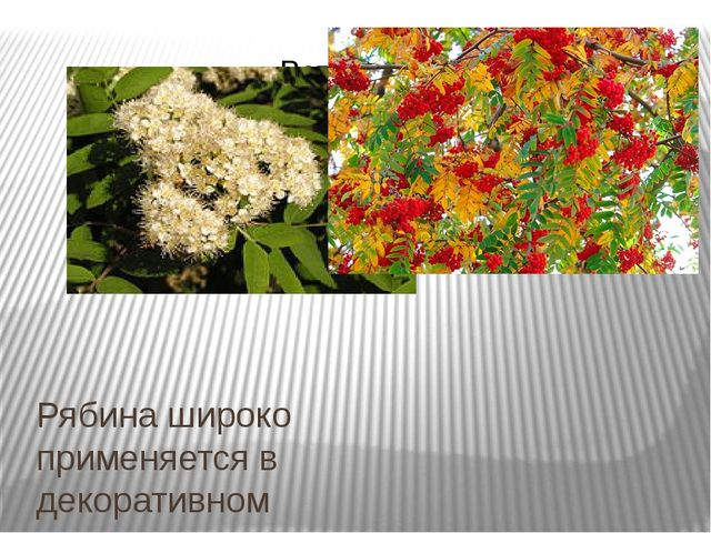 Рябина широко применяется в декоративномсадоводствеиозеленениии повсемест...