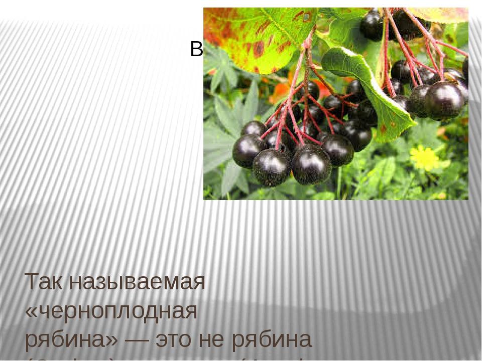 Так называемая «черноплодная рябина»— это не рябина (Sorbus), аарония(Aron...