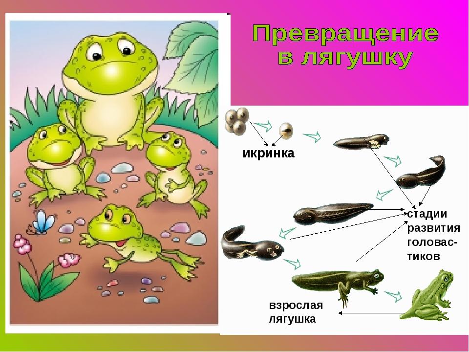 икринка стадии развития головас-тиков взрослая лягушка