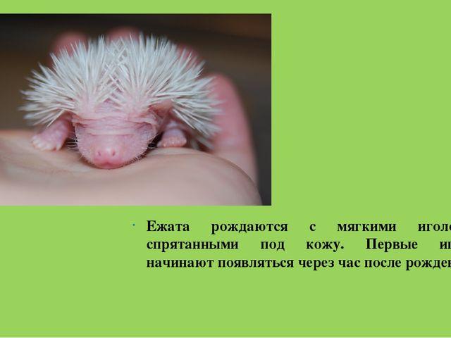 Ежата рождаются с мягкими иголочками, спрятанными под кожу. Первые иголочки н...