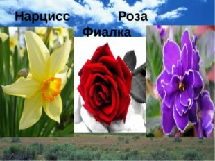 Нарцисс Роза Фиалка