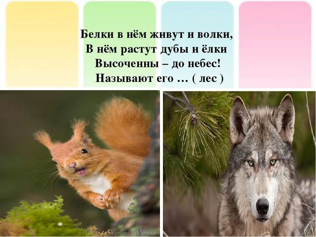 Белки в нём живут и волки, В нём растут дубы и ёлки Высоченны – до небес! Наз...