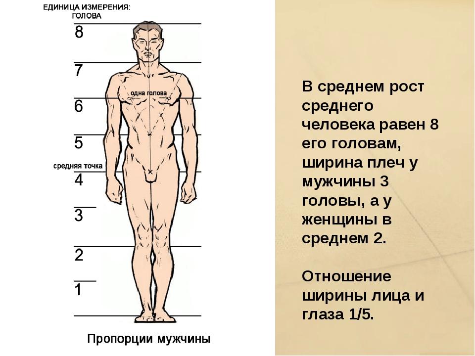 В среднем рост среднего человека равен 8 его головам, ширина плеч у мужчины 3...