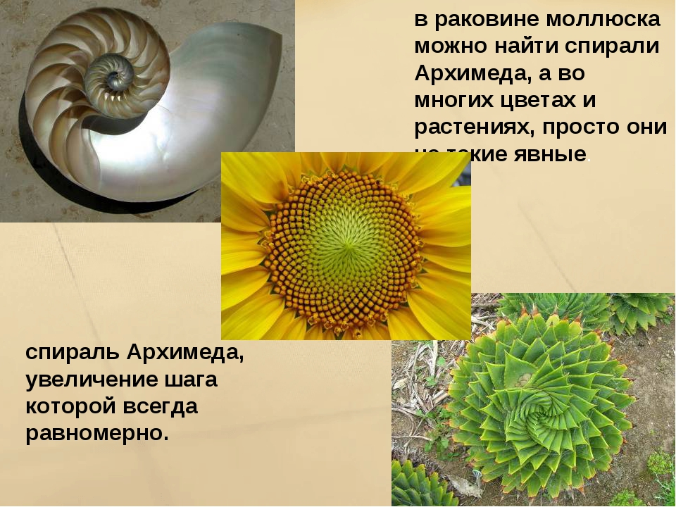 в раковине моллюска можно найти спирали Архимеда, а во многих цветах и растен...