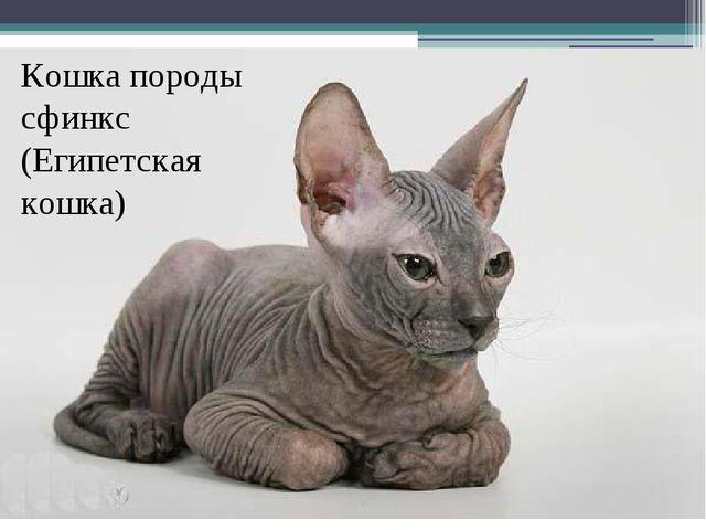 Кошка породы сфинкс (Египетская кошка)