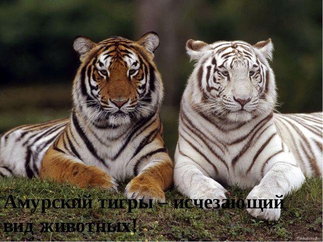 Амурский тигры – исчезающий вид животных!