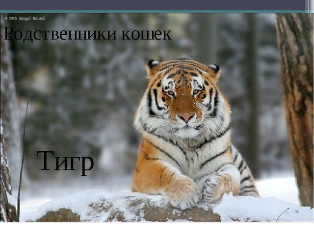 Родственники кошек Тигр