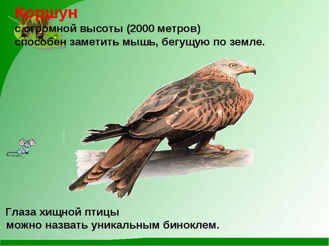 Глаза хищной птицы можно назвать уникальным биноклем. Коршун с огромной высо...