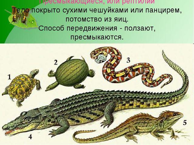 Пресмыкающиеся, или рептилии Тело покрыто сухими чешуйками или панцирем, пото...