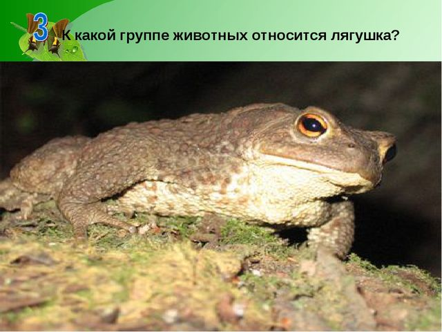 К какой группе животных относится лягушка?