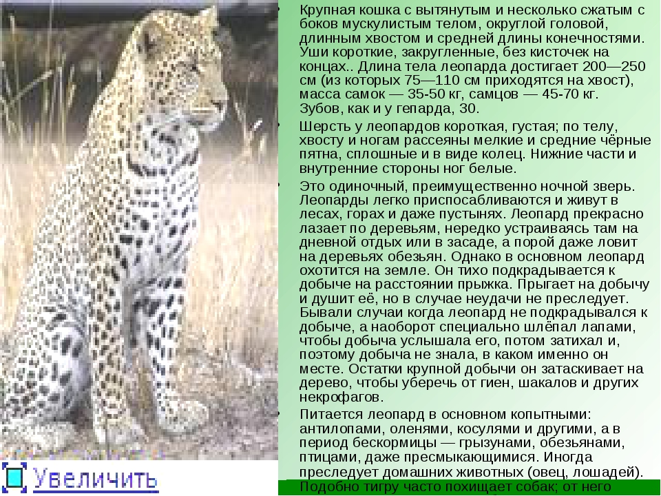 Крупная кошка с вытянутым и несколько сжатым с боков мускулистым телом, округ...