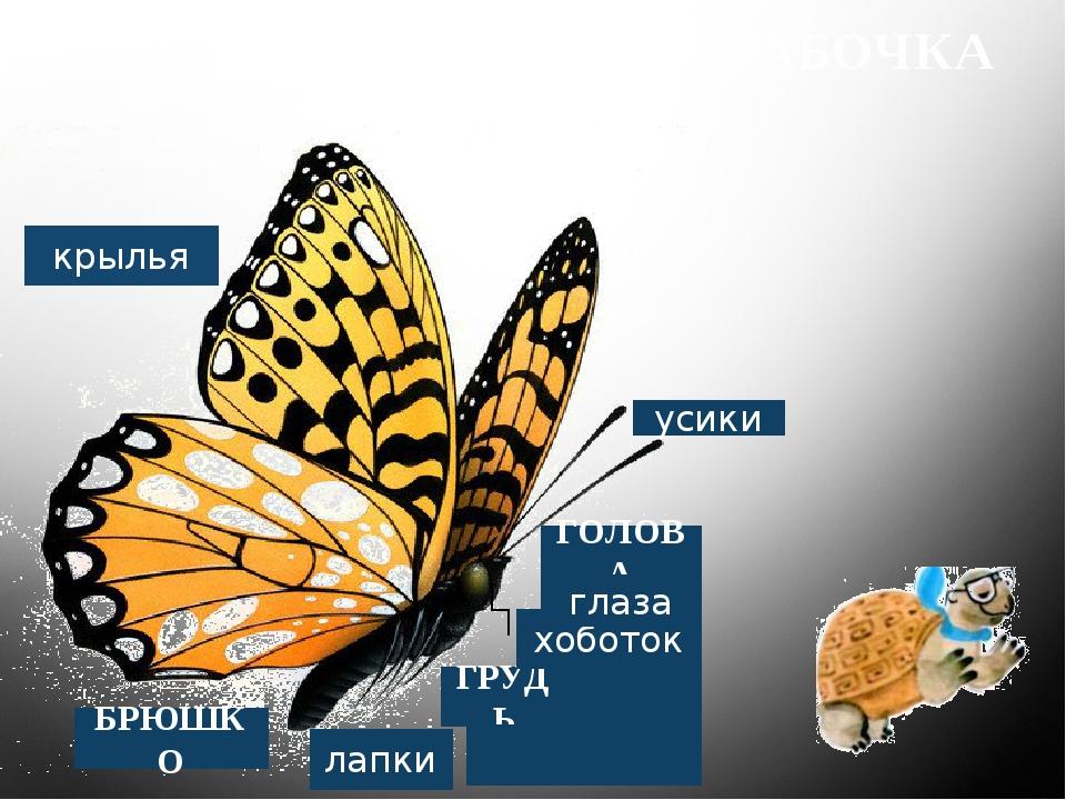 БАБОЧКА лапки ГРУДЬ хоботок ГОЛОВА усики БРЮШКО крылья глаза