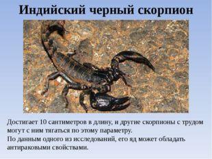 Индийский черный скорпион Достигает 10 сантиметров в длину, и другие скорпион