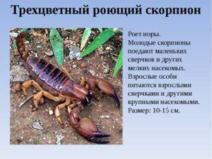 Трехцветный роющий скорпион Роет норы. Молодые скорпионы поедают маленьких св