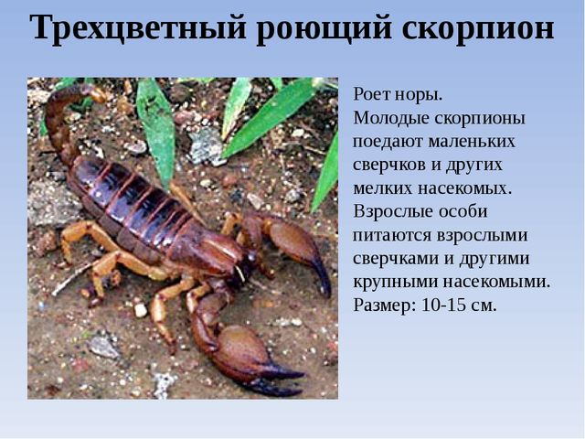 Трехцветный роющий скорпион Роет норы. Молодые скорпионы поедают маленьких св...