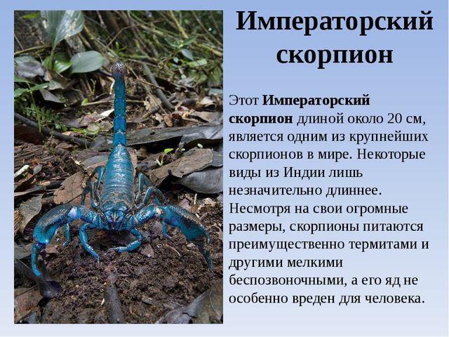 Императорский скорпион ЭтотИмператорский скорпиондлиной около 20 см, являет...