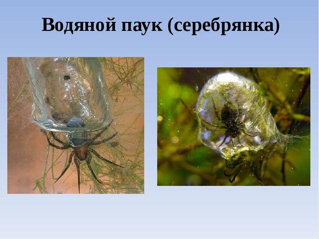 Водяной паук (серебрянка)