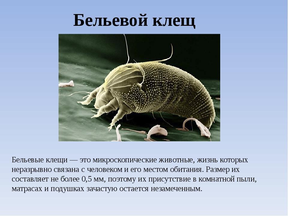 Бельевой клещ Бельевые клещи — это микроскопические животные, жизнь которых н...
