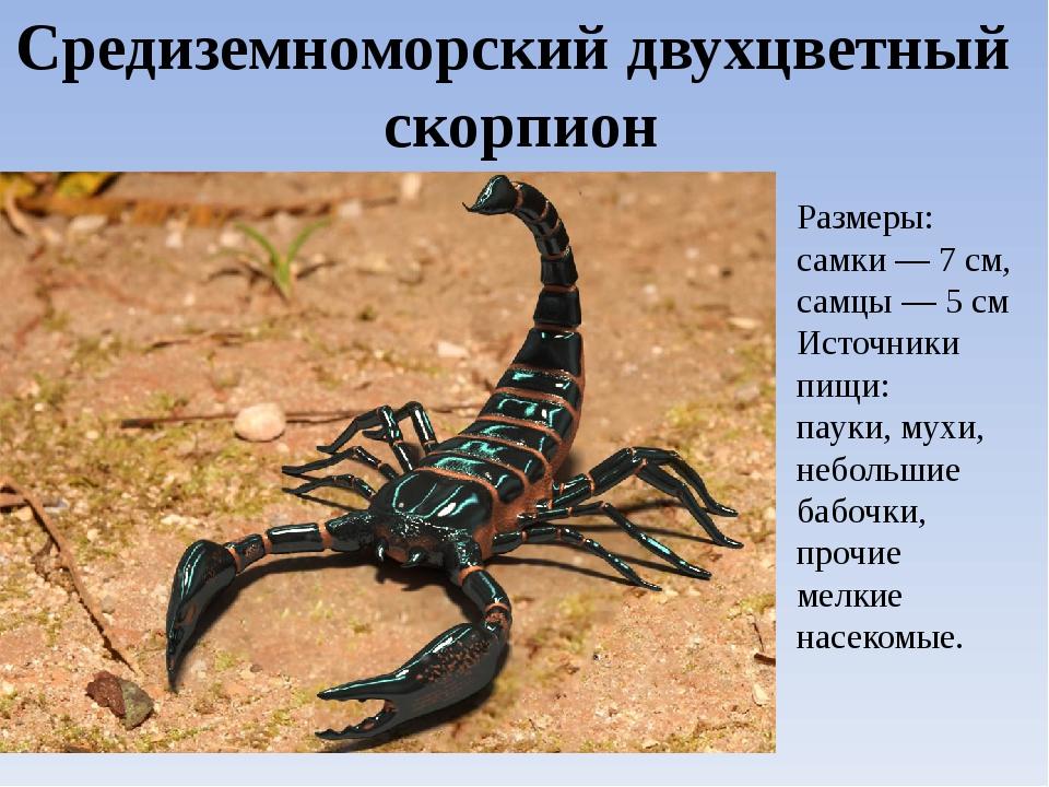 Средиземноморский двухцветный скорпион Размеры: самки — 7 см, самцы — 5 см Ис...