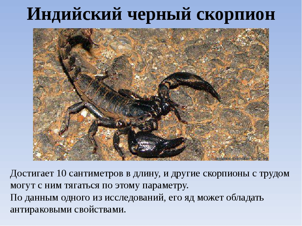 Индийский черный скорпион Достигает 10 сантиметров в длину, и другие скорпион...