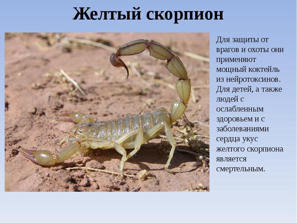 Желтый скорпион Для защиты от врагов и охоты они применяют мощный коктейль из...