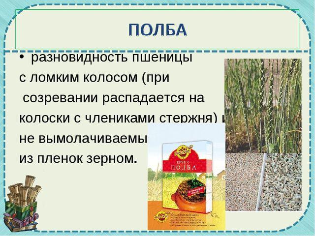 разновидность пшеницы с ломким колосом (при созревании распадается на колоски...