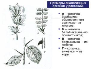 А– колючка барбариса обыкновенного возникает из листьев; Б– колючка белой а