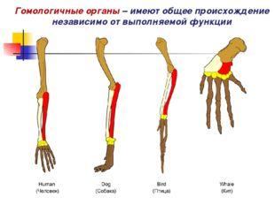 Гомологичные органы – имеют общее происхождение независимо от выполняемой фун