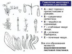 А– лист гороха с прилистниками и усиками; Б– кувшинчики непентеса; В– чешу