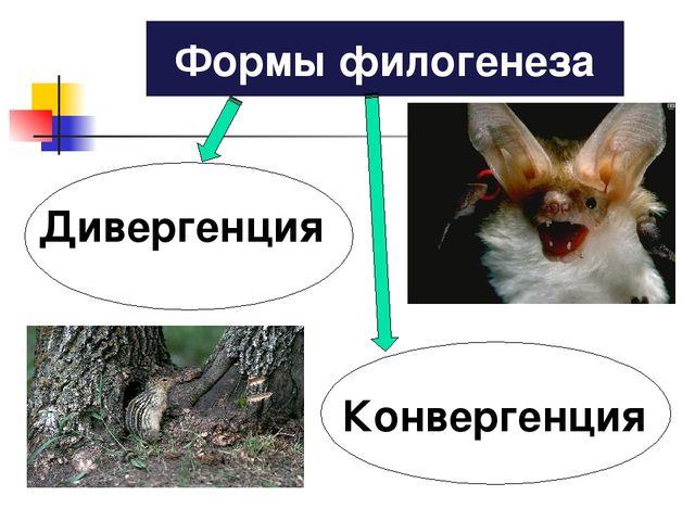 Дивергенция Конвергенция Формы филогенеза