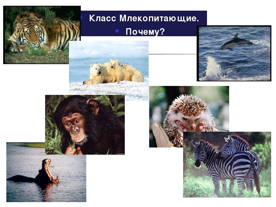 Класс Млекопитающие. Почему?