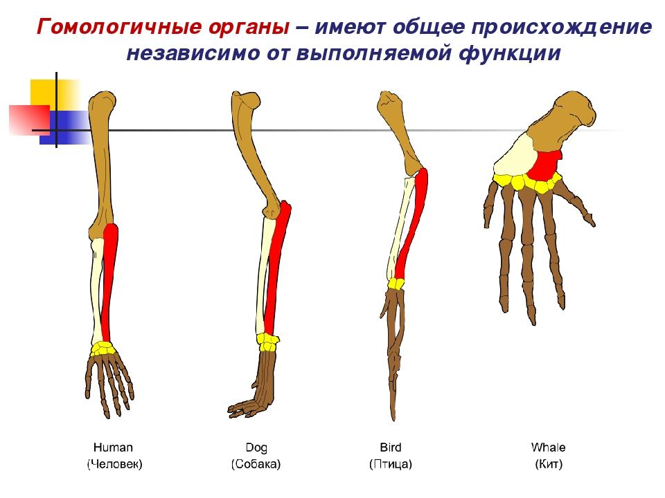 Гомологичные органы – имеют общее происхождение независимо от выполняемой фун...