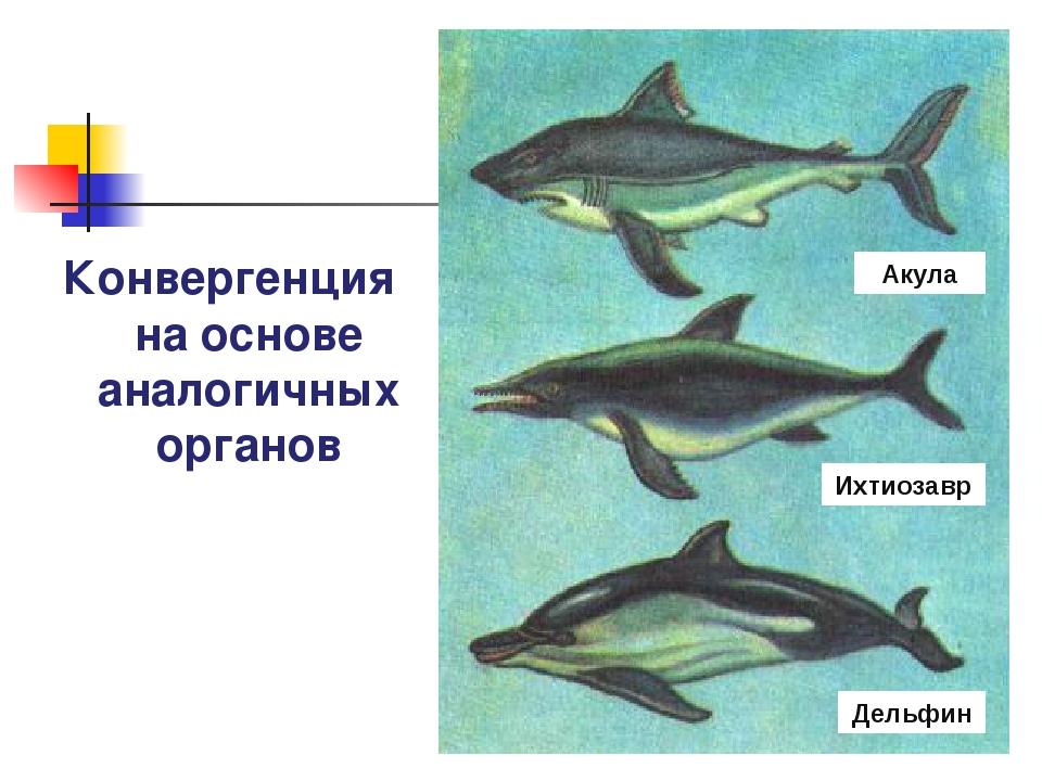 Конвергенция на основе аналогичных органов Акула Ихтиозавр Дельфин