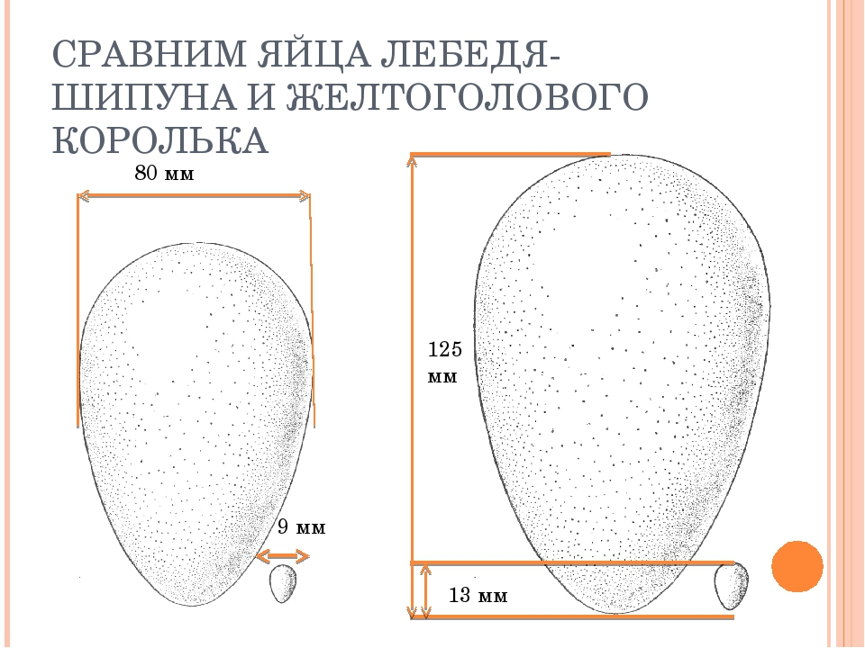 СРАВНИМ ЯЙЦА ЛЕБЕДЯ-ШИПУНА И ЖЕЛТОГОЛОВОГО КОРОЛЬКА 125 мм 13 мм 80 мм 9 мм