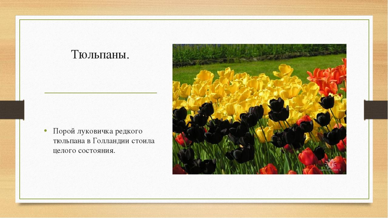 Тюльпаны. Порой луковичка редкого тюльпана в Голландии стоила целого состояния.