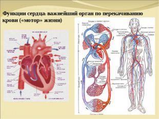 Функции сердца: важнейший орган по перекачиванию крови («мотор» жизни)