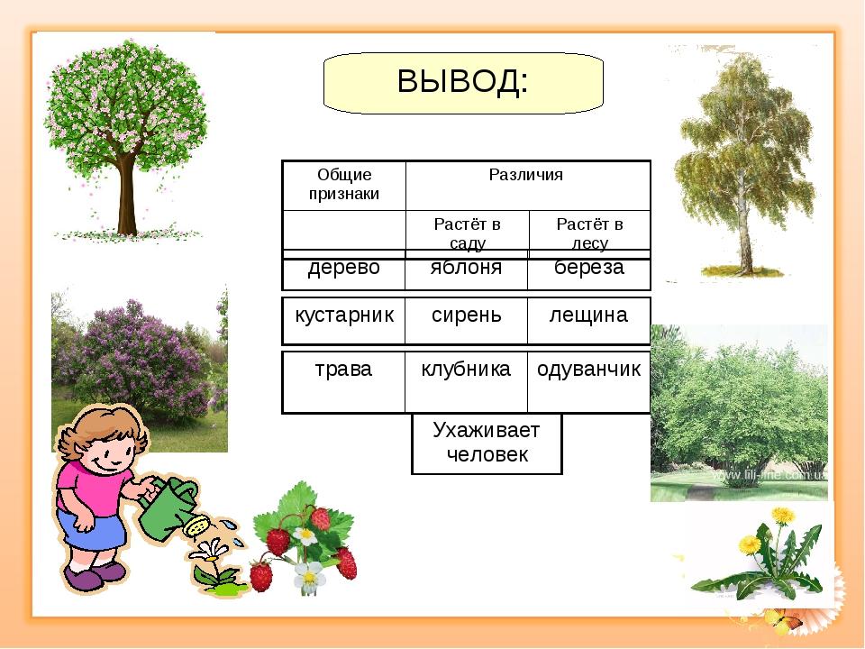 ВЫВОД: деревояблоняберёза траваклубникаодуванчик кустарниксиреньлещина...