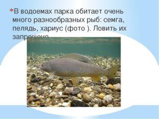 В водоемах парка обитает очень много разнообразных рыб: семга, пелядь, хариус