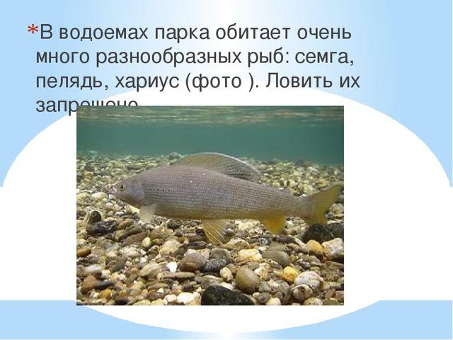 В водоемах парка обитает очень много разнообразных рыб: семга, пелядь, хариус...