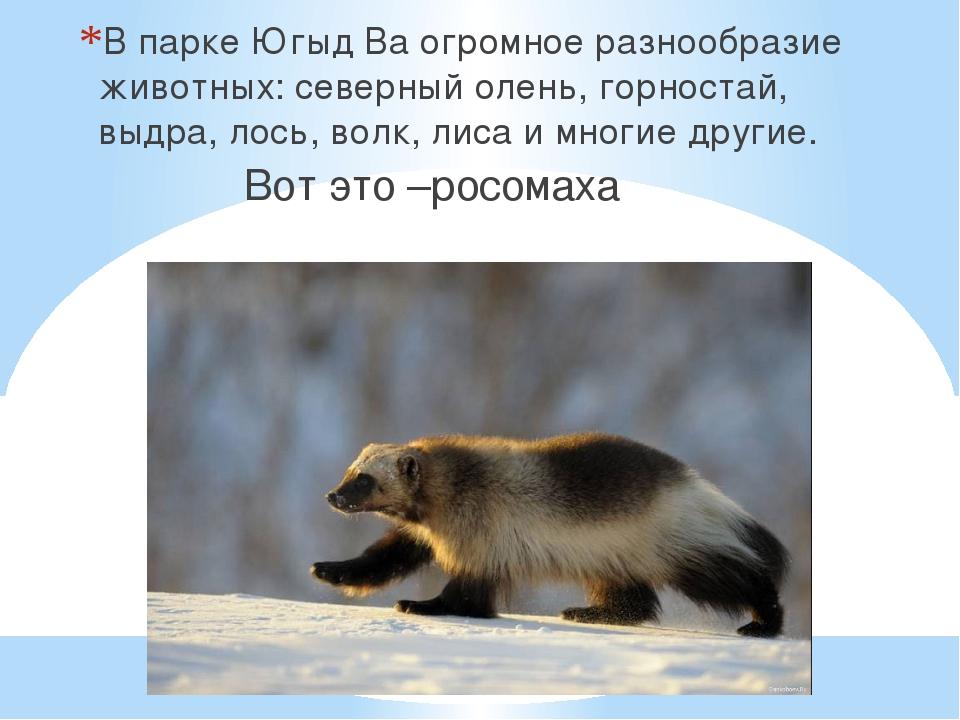 В парке Югыд Ва огромное разнообразие животных: северный олень, горностай, вы...