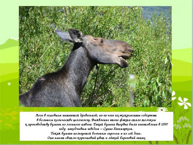 Лоси в основном питаются древесиной, из-за чего их экскременты содержат в бол...