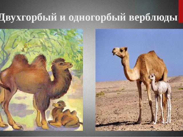 Двухгорбый и одногорбый верблюды