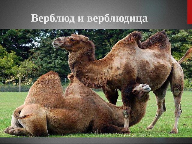 Верблюд и верблюдица