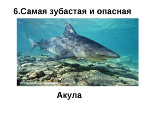 6.Самая зубастая и опасная рыба? Акула