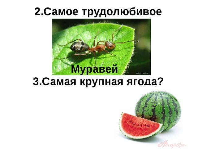 3.Самая крупная ягода? 2.Самое трудолюбивое насекомое? Муравей