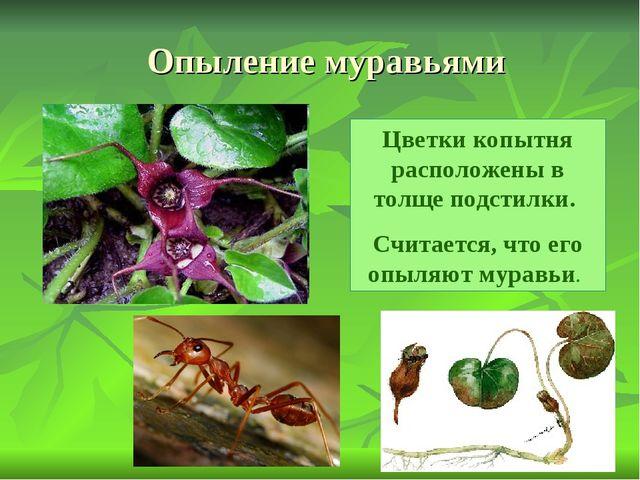 Опыление муравьями Цветки копытня расположены в толще подстилки. Считается, ч...